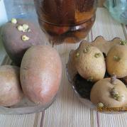 проращиваю картофель