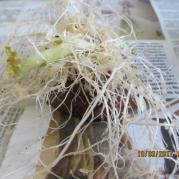 картофель дал корни