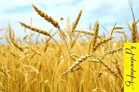 О зерновых культурах Финляндии