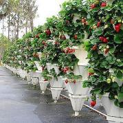 Способы выращивания клубники, способ №2