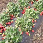Способы выращивания клубники, способ №5
